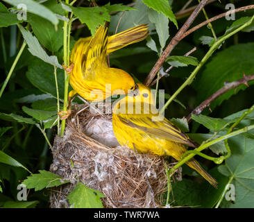 Yellow warbler (Setophaga petechia) male feeding female at the nest, Iowa, USA. - Stock Photo