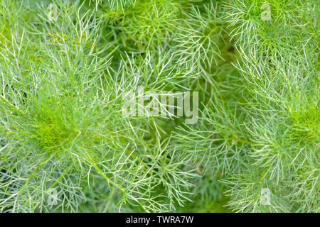 Macro view of Fluffy grass in summer garden as bright green background. Nature herbal background - Stock Photo