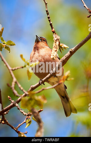 Common Chaffinch ( Fringilla coelebs ) on a branch in Teverener Heide Natural Park, Germany - Stock Photo