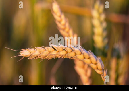 Beautiful wheat ear in summer field at sunset . - Stock Photo