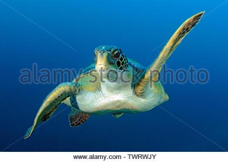 Green Sea Turtle (Chelonia mydas), swimming in blue water, Galapagos Achipelago, Ecuador - Stock Photo