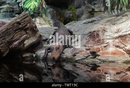Alligator down to the water in a large terrarium. - Stock Photo