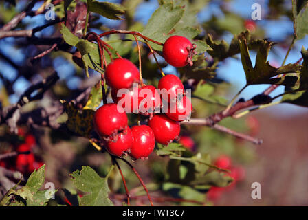 Crataegus (hawthorn, quickthorn, thornapple, May tree, whitethorn, hawberry) red ripe berries on branch with green leaves close up detail - Stock Photo
