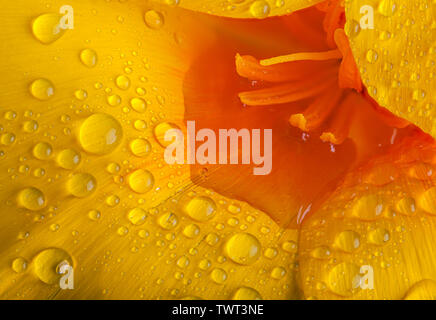 Poppy (California) orange and yellow flower in extreme close up macro. Water droplets and puddle on the petals - Stock Photo