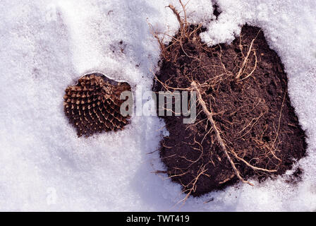 Dry weathered sunflower and old root on black earth, white snow background, close up detail - Stock Photo