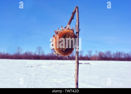 Dry weathered sunflowers stem with dry flower on field covered with  white snow, bright blue sky, trees line on horizon - Stock Photo