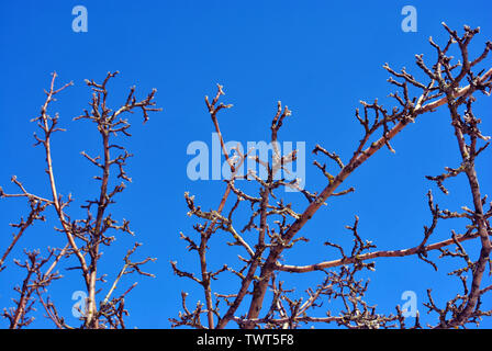 Apple tree branches without leaves close up detail,  bright blue sky background - Stock Photo