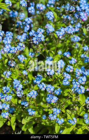 Close up of a delicate blue forget me not flower (Myosotis arvensis) in full bloom in my back garden in Cardiff, South Wales, UK - Stock Photo
