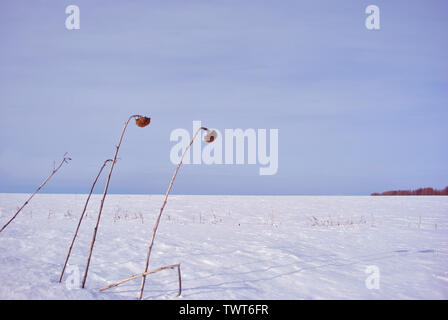 Dry weathered sunflowers stems with dry flowers on field covered with  white snow, cloudy sky, trees line on horizon - Stock Photo