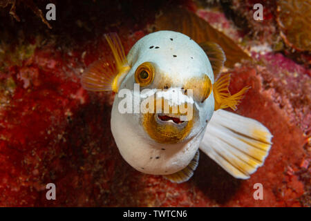 Blackspotted puffer or dog-faced puffer, Arothron nigropunctatus, with swollen stomach after heavy meal, Yap, Federated States of Micronesia. - Stock Photo