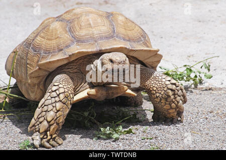 Giant Yellow-Footed Tortoise walking free on land - Stock Photo