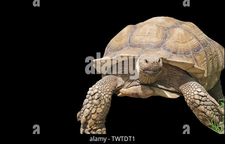 Giant Yellow-Footed Tortoise isolated on a black background - Stock Photo