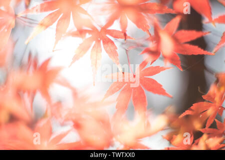 Soft autumnal shot of maple leaves through the light. - Stock Photo