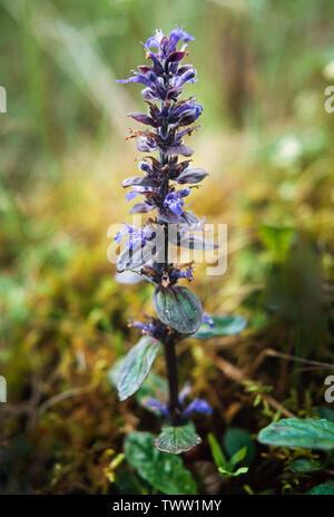 Common Bugle, Ajuga reptans, - Stock Photo