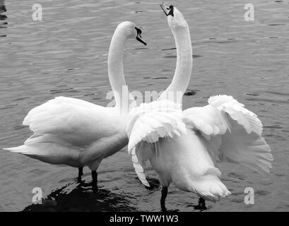 Swans Courting - Stock Photo