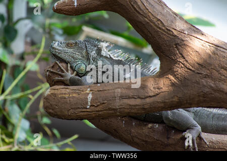 A Green Iguana (Iguana iguana) sits motionless along a tree branch in the rainforest. - Stock Photo