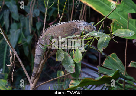 A Green Iguana (Iguana iguana) hangs out on a tree branch in the rainforest showing off its full length body and lengthy tail. - Stock Photo