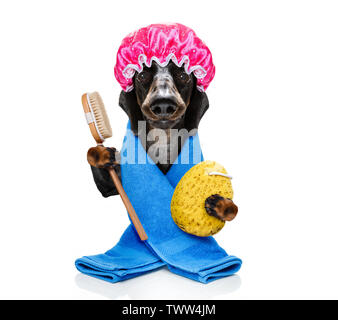 sausage dachshund dog  in a bathtub under shower not so amused about that ,wearing a  towel or bathrobe or towel dressing gown - Stock Photo