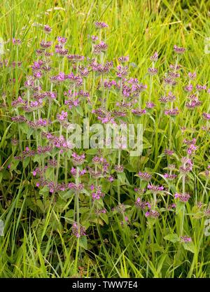Wild Basil Clinopodium vulgare growing in open grassland at Prestbury Hill in the Cotswold hills near Cheltenham UK - Stock Photo