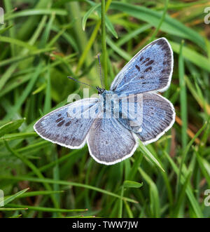 Large blue butterfly Maculinea arion male at Collard Hill in the Polden Hills of Somerset UK - Stock Photo