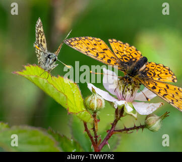 Chequered skipper Carterocephalus palaemon and small pearl bordered fritillary at Glasdrun near Fort William in the Highlands of Scotland UK - Stock Photo