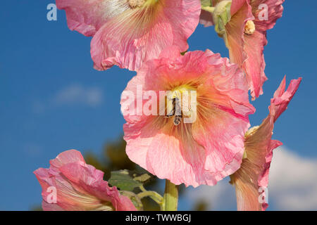 Alcea rosea and a honey bee, the common hollyhock, an ornamental plant in the family Malvaceae - Stock Photo