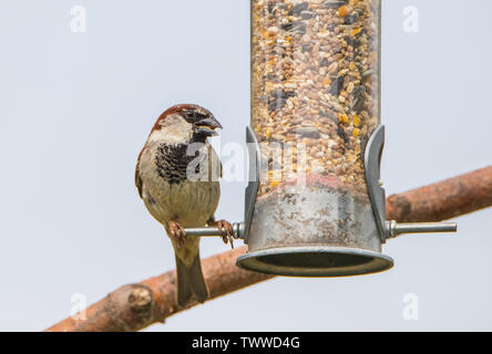 House Sparrow, Male House Sparrow, Adult Male, Finch, Passer, perched on a feeder in a British Garden in the Sunshine in spring