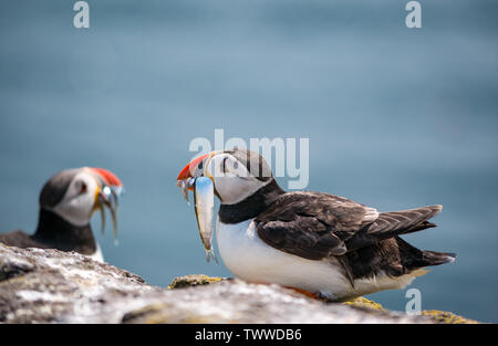 Isle of May, North Sea, UK. 23rd June 2019. Seabirds on the Scottish Natural Heritage nature reserve. Concerns grow each year about the puffin population especially as it appears they are catching fewer sand eels and the eels are smaller. Hopeful bachelor puffins, Fratercula arctica, with beaks of sand eels - Stock Photo