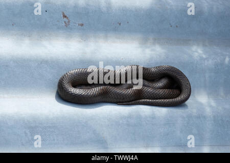 Smooth snake (Coronella austriaca) coiled up basking on top of a corrugated iron or tin refugia in Surrey heathland, UK - Stock Photo