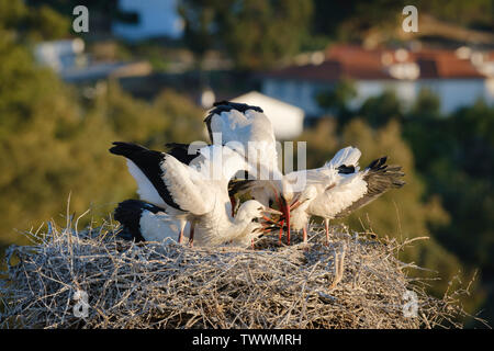 White stork (Ciconia ciconia) feeding three chicks. Valencia de Alcantara. Extremadura. Spain. - Stock Photo
