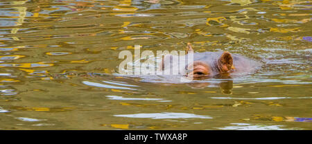 common hippo swimming in the water, the face of a hippopotamus above water in closeup, Vulnerable animal specie from Africa - Stock Photo