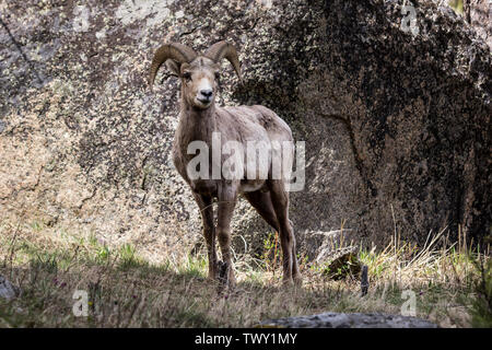 A bighorn sheep (Ovis canadensis) in Yellowstone National Park - Stock Photo