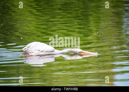Great white pelican or Pelecanus onocrotalus hunting in water - Stock Photo