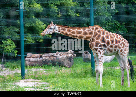 Rothschild's giraffe or Giraffa camelopardalis rothschildi walks in captivity - Stock Photo