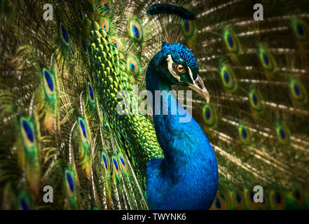 A closeup of a beautiful iridescent blue peacock with its colorful feathers fanned out. - Stock Photo