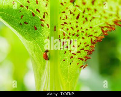 Polished lady beetle or immaculate ladybird beetle (Cycloneda munda) consuming an aphid (Uroleucon spp) - Stock Photo