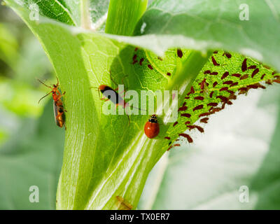 Downy leatherwing or soldier beetle (Pdabrus tomentosus) and polished lady beetle (Cycloneda munda) consuming aphids (Uroleucon spp). - Stock Photo