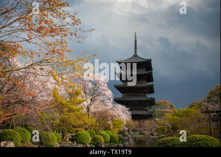 Cherry Blossom Trees in front of Pagoda building. Springtime at the Toji Temple in Kyoto with dark, mood sky background