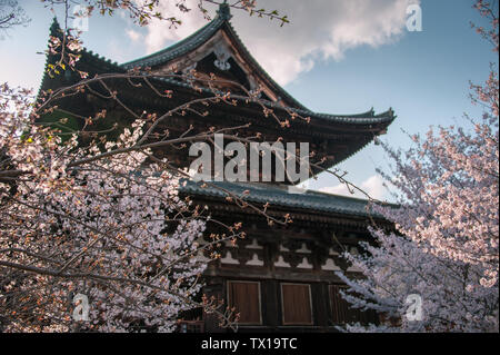 Cherry Blossom Trees in front of traditional Japanese style building. Springtime at the Toji Temple in Kyoto