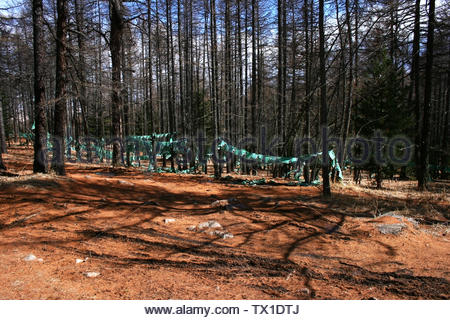 Garlands of green prayer flags hanging in a pine tree forest in beautiful light, on the way up to Tövkhön Monastery, on the mountain of Shireet Ulaan, - Stock Photo