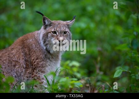 Eurasian lynx (Lynx lynx), sits in forest, Saarland, Germany - Stock Photo