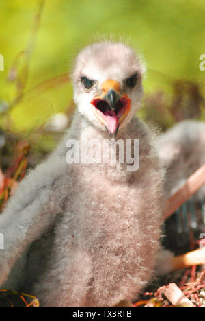 Hatchling the common kestrel (Falco tinnunculus, European kestrel, Eurasian kestrel, Old World kestrel) bird of prey species, falcon family Falconidae - Stock Photo