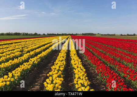 Germany, red and yellow tulip fields Stock Photo