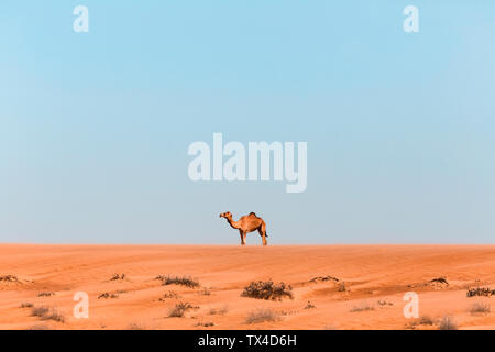 Dromedary in Wahiba sands desert, Oman - Stock Photo