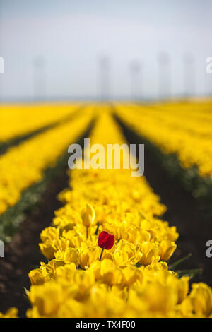 Germany, yellow tulip field with single red tulip - Stock Photo