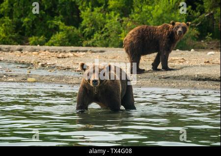 Russia, Kamchatka, Kurile lake, Kamchatka brown bears (Ursus arctos beringianus - Stock Photo