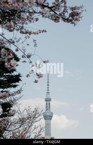 Japan, Tokyo, cherry blossom and Tokyo Skytree seen from Asakusa - Stock Photo