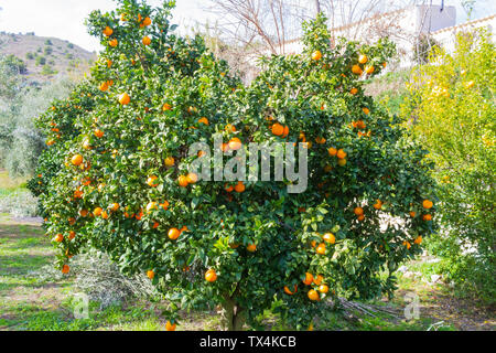 Citrus × sinensis, Orange Tree laden with Fruit, ready to be picked - Stock Photo
