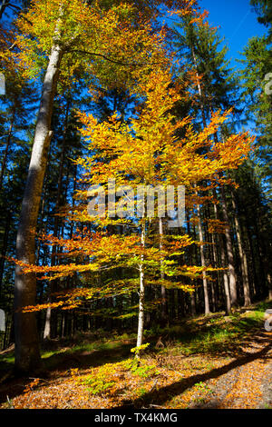 Germany, Bavaria, copper beech in autumnal forest - Stock Photo
