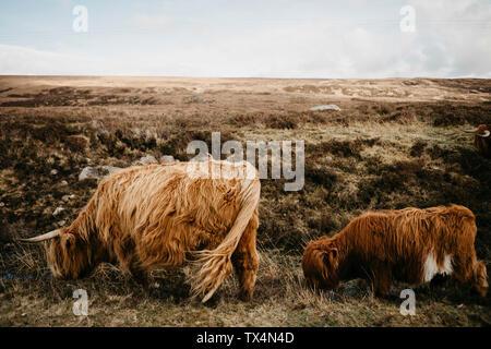 UK, Scotland, Highland, longhorn cattle on pasture - Stock Photo